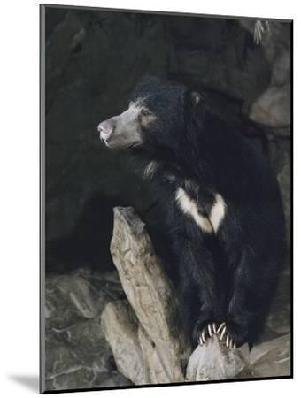 A Sleepy Sloth Bear Takes a Breather Outside its Cave-Joseph H^ Bailey-Mounted Photographic Print