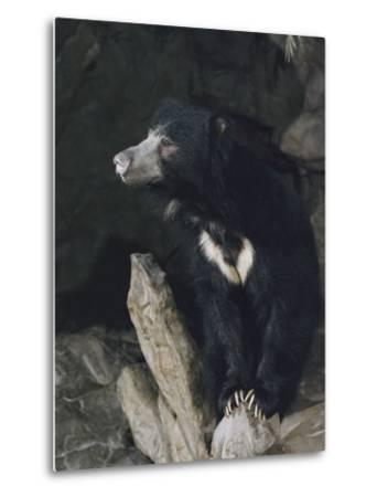 A Sleepy Sloth Bear Takes a Breather Outside its Cave-Joseph H^ Bailey-Metal Print