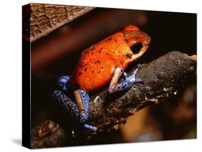 A Poison Arrow Frog Sits on Bark in the Rain Forest-Tim Laman-Stretched Canvas Print