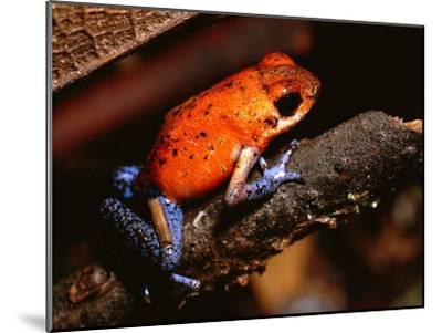 A Poison Arrow Frog Sits on Bark in the Rain Forest-Tim Laman-Mounted Photographic Print