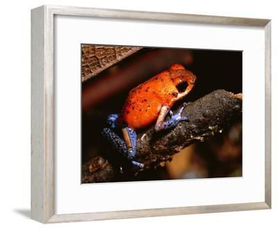 A Poison Arrow Frog Sits on Bark in the Rain Forest-Tim Laman-Framed Photographic Print