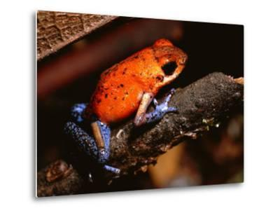 A Poison Arrow Frog Sits on Bark in the Rain Forest-Tim Laman-Metal Print