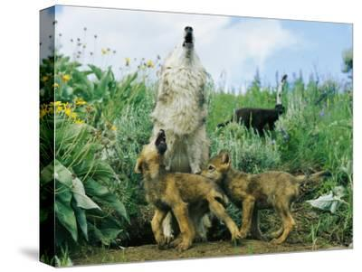 A Gray Wolf Teaches Her Young Pups to Howl-Norbert Rosing-Stretched Canvas Print