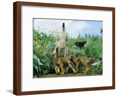 A Gray Wolf Teaches Her Young Pups to Howl-Norbert Rosing-Framed Photographic Print