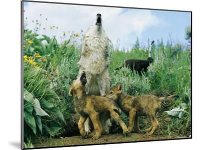 A Gray Wolf Teaches Her Young Pups to Howl-Norbert Rosing-Mounted Photographic Print
