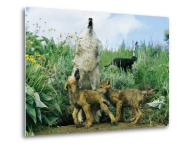 A Gray Wolf Teaches Her Young Pups to Howl-Norbert Rosing-Metal Print