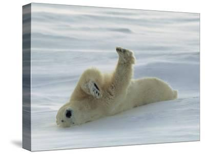 Polar Bear Rolling in the Snow-Norbert Rosing-Stretched Canvas Print