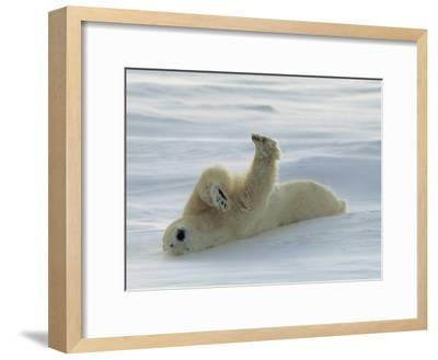 Polar Bear Rolling in the Snow-Norbert Rosing-Framed Photographic Print