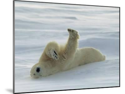 Polar Bear Rolling in the Snow-Norbert Rosing-Mounted Photographic Print