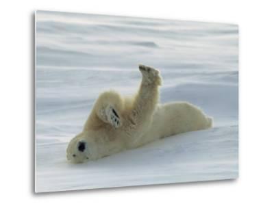 Polar Bear Rolling in the Snow-Norbert Rosing-Metal Print