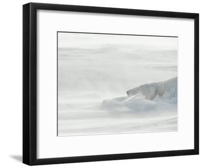 Polar Bear Sleeping in Drifting Snow-Norbert Rosing-Framed Photographic Print