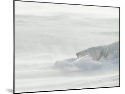 Polar Bear Sleeping in Drifting Snow-Norbert Rosing-Mounted Photographic Print