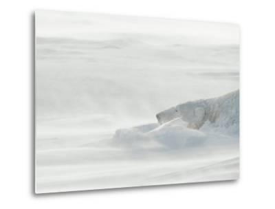 Polar Bear Sleeping in Drifting Snow-Norbert Rosing-Metal Print