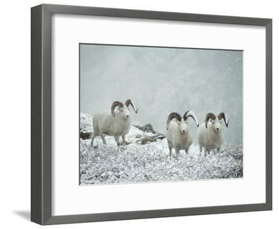 Three Dalls Sheep Look up from a Snowy Ledge-Michael S^ Quinton-Framed Photographic Print
