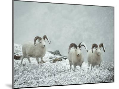 Three Dalls Sheep Look up from a Snowy Ledge-Michael S^ Quinton-Mounted Photographic Print
