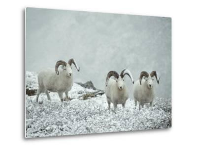 Three Dalls Sheep Look up from a Snowy Ledge-Michael S^ Quinton-Metal Print