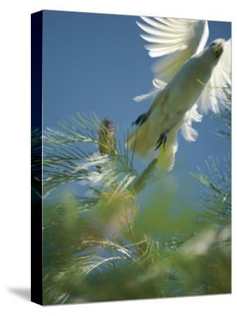 A Little Corella Cockatto Takes Flight from a Pine Tree-Jason Edwards-Stretched Canvas Print