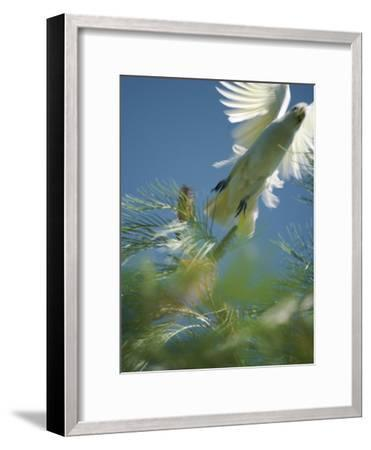 A Little Corella Cockatto Takes Flight from a Pine Tree-Jason Edwards-Framed Photographic Print