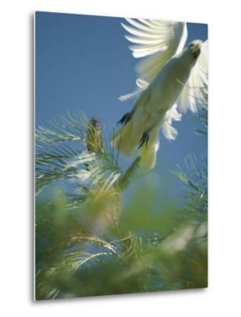A Little Corella Cockatto Takes Flight from a Pine Tree-Jason Edwards-Metal Print