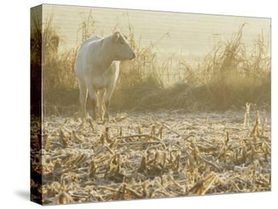A White Cow Standing in a Harvested Cornfield-Kenneth Garrett-Stretched Canvas Print