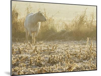 A White Cow Standing in a Harvested Cornfield-Kenneth Garrett-Mounted Photographic Print