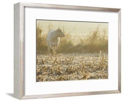 A White Cow Standing in a Harvested Cornfield-Kenneth Garrett-Framed Photographic Print