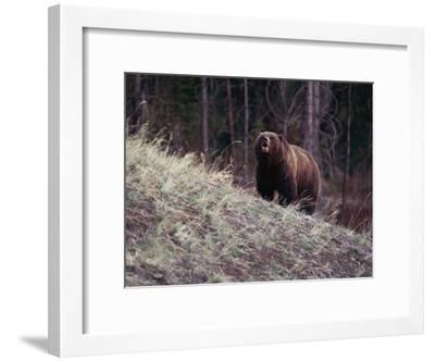 Grizzly Bear-Bobby Model-Framed Photographic Print