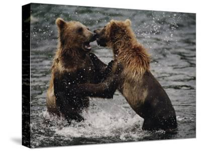 Two Grizzlies, up on Their Hind Legs, Fight in the Water-Joel Sartore-Stretched Canvas Print