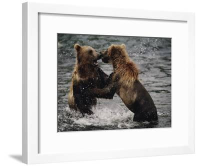 Two Grizzlies, up on Their Hind Legs, Fight in the Water-Joel Sartore-Framed Photographic Print