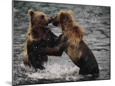 Two Grizzlies, up on Their Hind Legs, Fight in the Water-Joel Sartore-Mounted Photographic Print