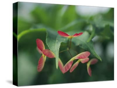 Japanese Maple Leaves and Fruit-Darlyne A^ Murawski-Stretched Canvas Print