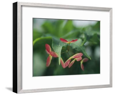 Japanese Maple Leaves and Fruit-Darlyne A^ Murawski-Framed Photographic Print