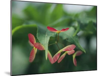 Japanese Maple Leaves and Fruit-Darlyne A^ Murawski-Mounted Photographic Print