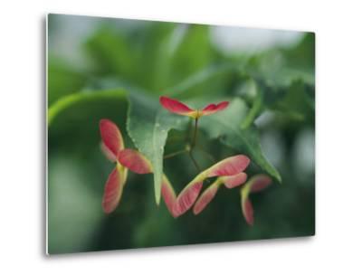 Japanese Maple Leaves and Fruit-Darlyne A^ Murawski-Metal Print