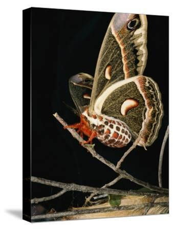 A Female Cecropia Moth Has Just Emerged from its Cocoon-Darlyne A^ Murawski-Stretched Canvas Print