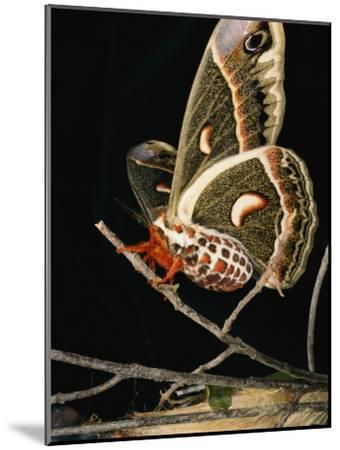 A Female Cecropia Moth Has Just Emerged from its Cocoon-Darlyne A^ Murawski-Mounted Photographic Print