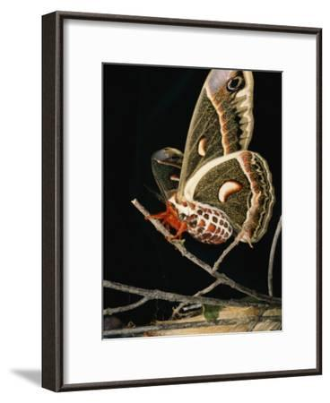 A Female Cecropia Moth Has Just Emerged from its Cocoon-Darlyne A^ Murawski-Framed Photographic Print