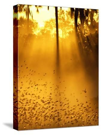 Birds Flying up into Sunlight Streaming Through the Jungle Foliage-Beverly Joubert-Stretched Canvas Print