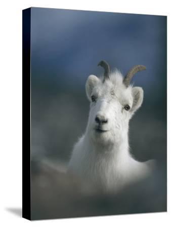Portrait of a Juvenile Mountain Goat-Michael S^ Quinton-Stretched Canvas Print