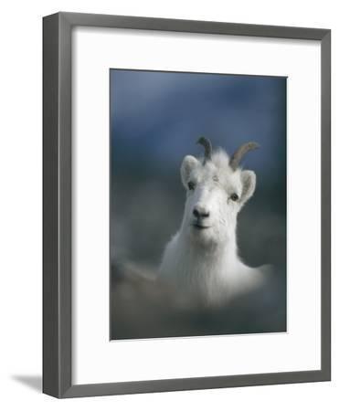 Portrait of a Juvenile Mountain Goat-Michael S^ Quinton-Framed Photographic Print