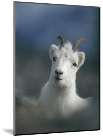 Portrait of a Juvenile Mountain Goat-Michael S^ Quinton-Mounted Photographic Print