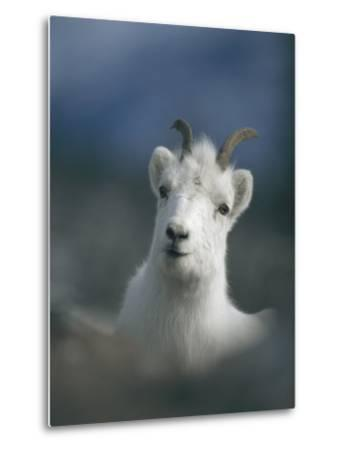 Portrait of a Juvenile Mountain Goat-Michael S^ Quinton-Metal Print