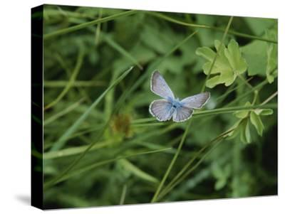 Close View of a Butterfly in Onion Valley-Marc Moritsch-Stretched Canvas Print