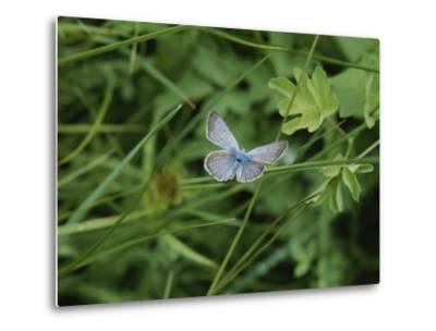 Close View of a Butterfly in Onion Valley-Marc Moritsch-Metal Print