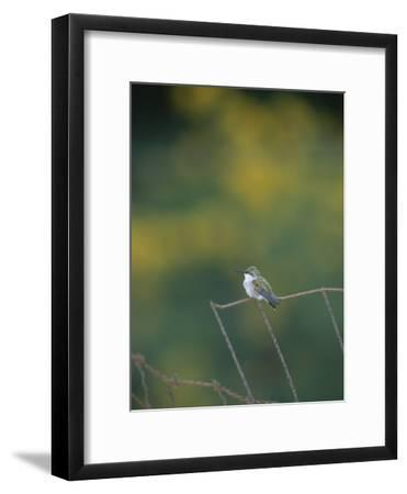 A Young Ruby-Throated Hummingbird on a Rusty Fence-Taylor S^ Kennedy-Framed Photographic Print