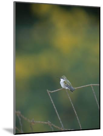 A Young Ruby-Throated Hummingbird on a Rusty Fence-Taylor S^ Kennedy-Mounted Photographic Print
