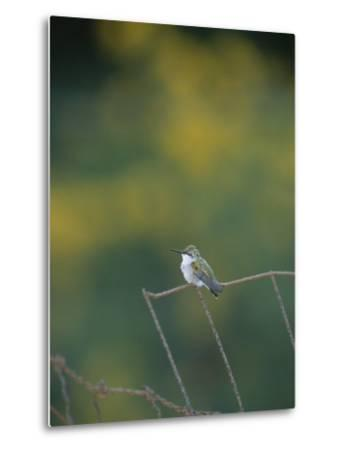 A Young Ruby-Throated Hummingbird on a Rusty Fence-Taylor S^ Kennedy-Metal Print