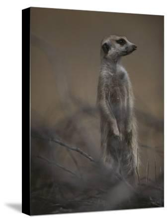 An Adult Meerkat (Suricata Suricatta) Stands on Lookout-Mattias Klum-Stretched Canvas Print