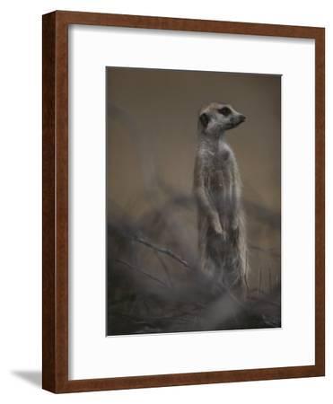 An Adult Meerkat (Suricata Suricatta) Stands on Lookout-Mattias Klum-Framed Photographic Print