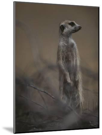 An Adult Meerkat (Suricata Suricatta) Stands on Lookout-Mattias Klum-Mounted Photographic Print
